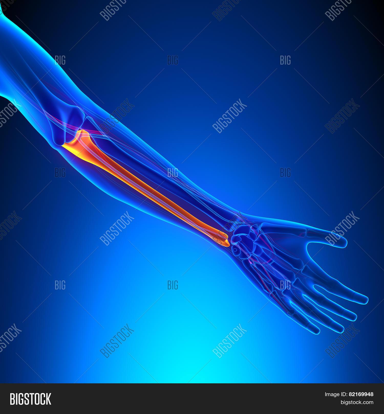 Ulna Bone Anatomy Image & Photo (Free Trial) | Bigstock