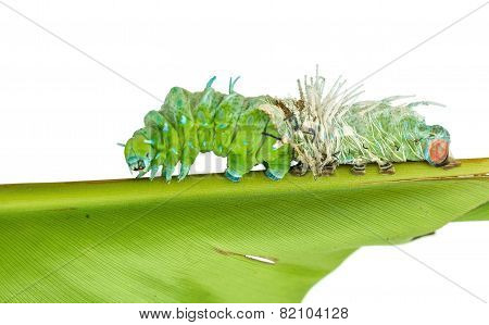 Molting skin of largest caterpillar attacus atlas moth in white background poster