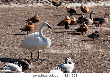 Trumpeter, Swan, Cygnus Buccinator