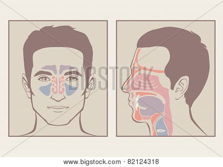 nose, throat anatomy,