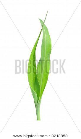 Corn Bine
