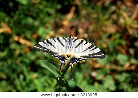 white butterfly with stripes