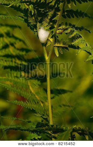 cuckoo spit (Philaenus spumarius)