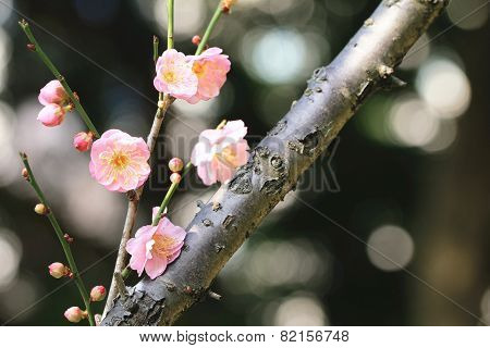 Chinese Plum,Japanese Apricot,pink flowers and buds