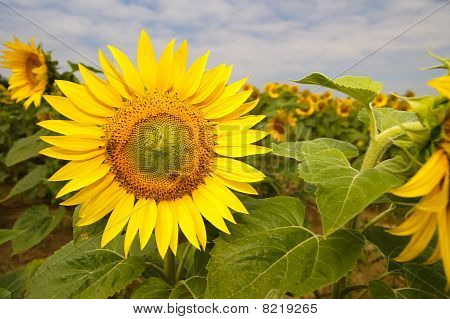 Sunflower at sunflower field