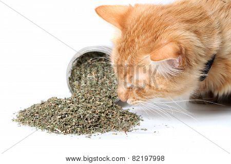 Orange Cat Sniffing Dried Catnip