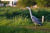Grey heron bird in close up standing in grassland poster