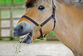 Horse eating hay with a silly look on his face poster