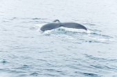 A humpback whale takes a dive in the Atlantic Ocean. poster