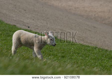 White lamb walking off dike.