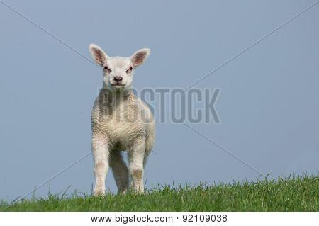 White lamb facing the camera