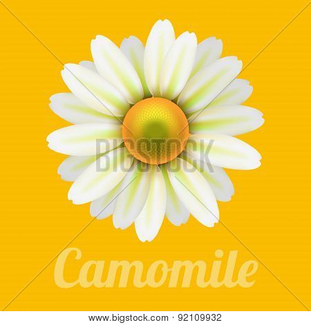 Beautiful daisy flower camomile.
