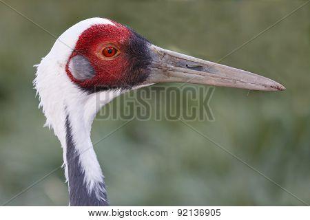 White-naped Crane Bird