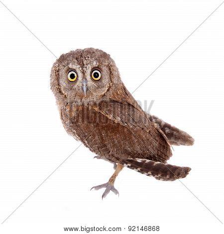 The European scops owl on white