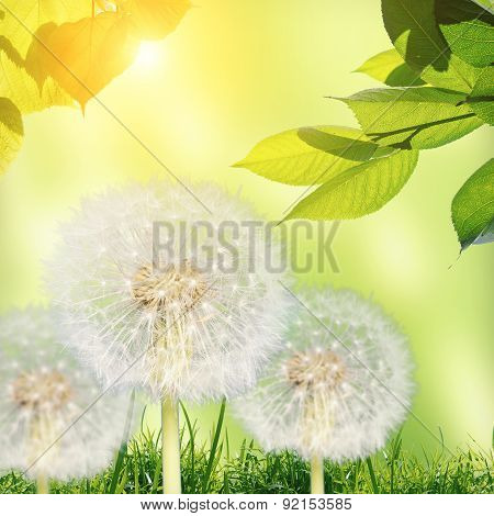 Meadow With Dandelions Under Blue Sky