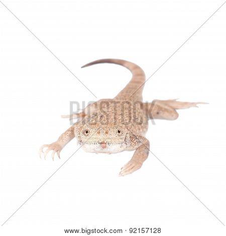 Secret Toad-Headed Agama on white
