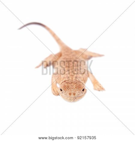 Secret Toad-Headed Agama, Phrynocephalus mystaceus, isolated on white poster