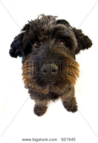 Spanish Waterdog