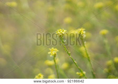 Bright Yellow Mustard Plant.