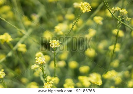 Yellow And Green Of Mustard Plants