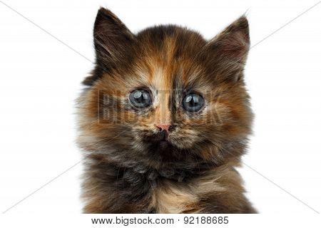 Closeup Cute Tortie Kitten On White Background
