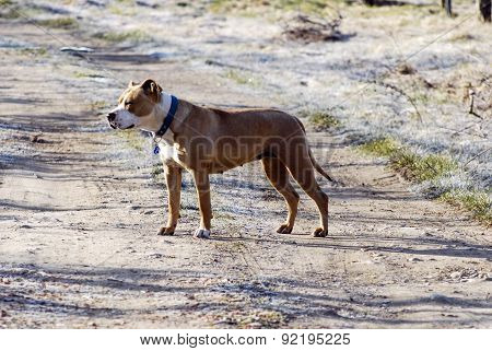 Picture of Two years old female amstaff