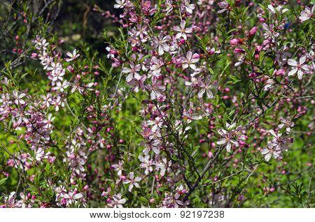 Flowering Bush Of Almond Steppe.