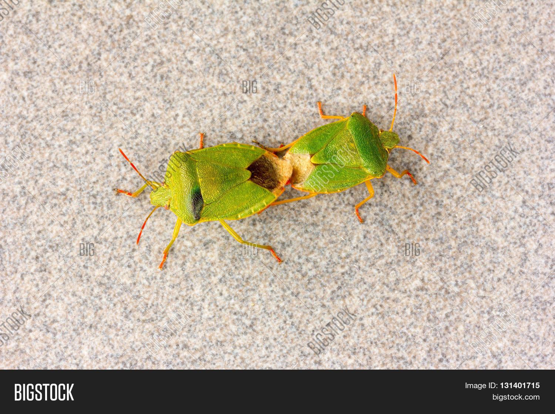 Stinkbug sex