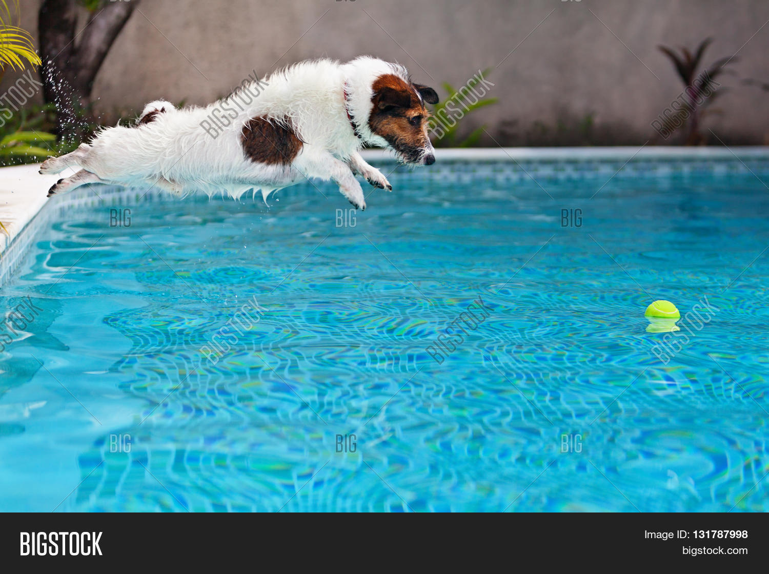 Playful Jack Russell Terrier Puppy Image Photo Bigstock