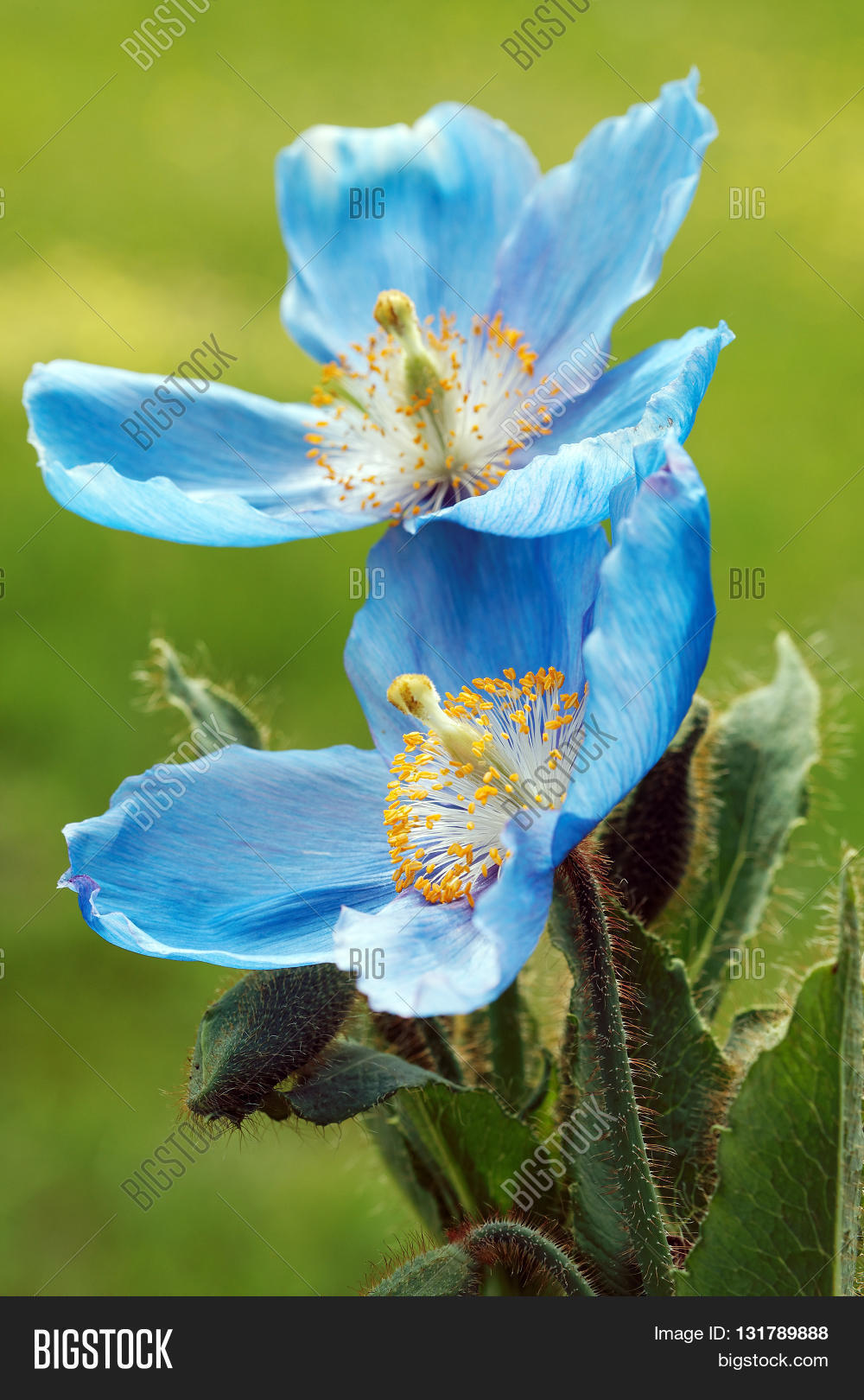 Himalayan Blue Poppy Image Photo Free Trial Bigstock