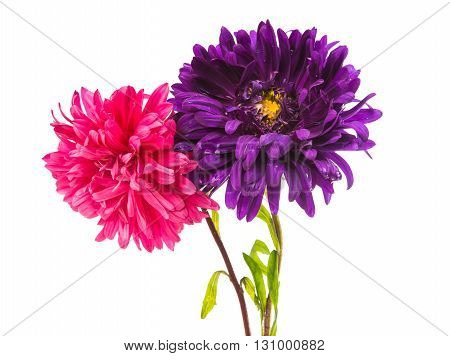 life flowerhead, aster isolated on white background
