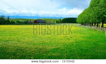 Farmland Covered With Yellow Dandelion