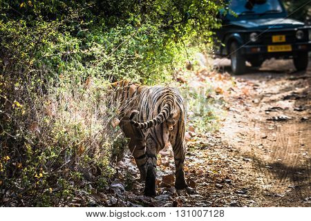 Royal Bengal Tiger (T-24 Ustaad) at Ranthambore Tiger Reserve