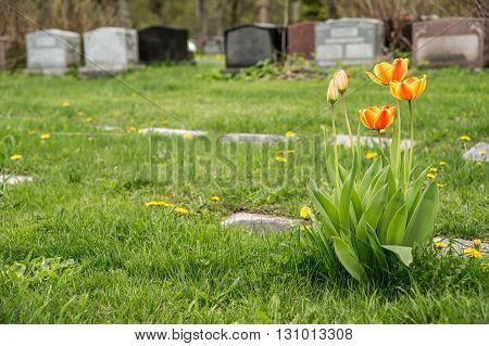 Headstones in a cemetary with Red and Yellow Bicolor Tulips poster