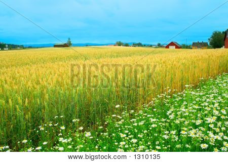 Wheat Field And Daisies