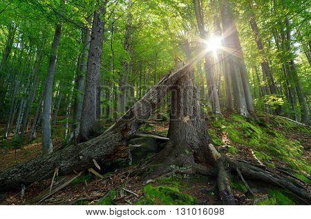 Spring forest. Landscape with broken tree and sun. Carpathians, Ukraine, Europe