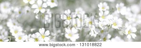 white spring flowers field - springtime background