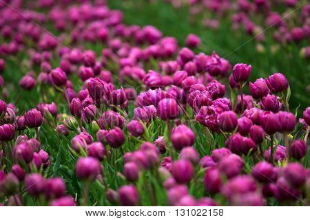 Purple Tulip Fields Are Growing Every Year