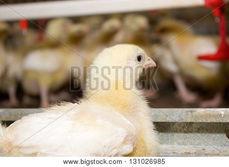 A two-week broiler chickens at the poultry farm