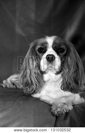 Beautiful Pure Breed cavalier King Charles Cavalier Spaniel dog in black and white