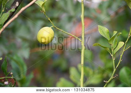Lemon fruit alone in the Tree #3