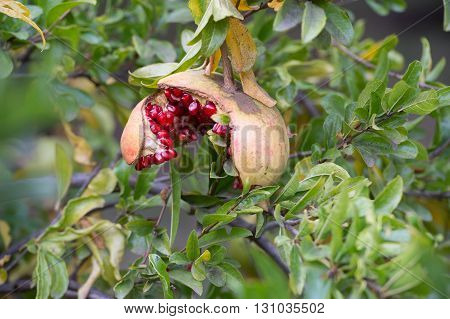 Ripe Pomegranate Fruit On The Tree #3