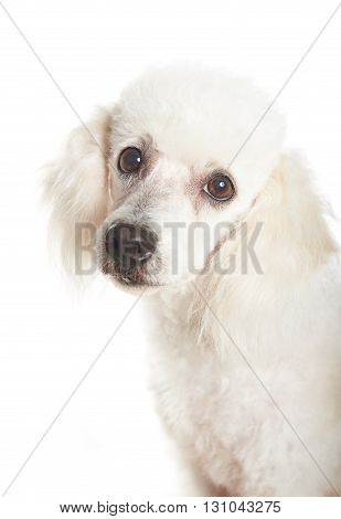 Poodle Closeup Looking
