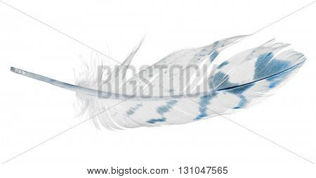 light feather with blue spots isolated on white background