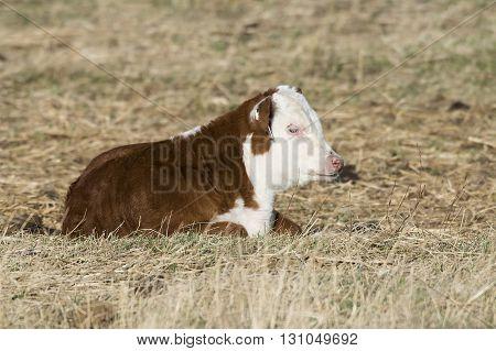 A resting Hereford calf on a farm in North Dakota