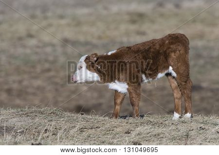 A young Hereford calf in a pasture on a farm in North Dakota
