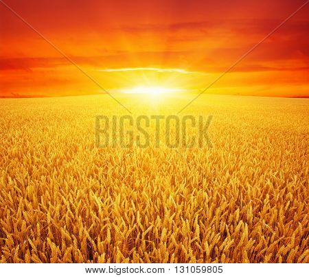 Wheat field and sun in the sky