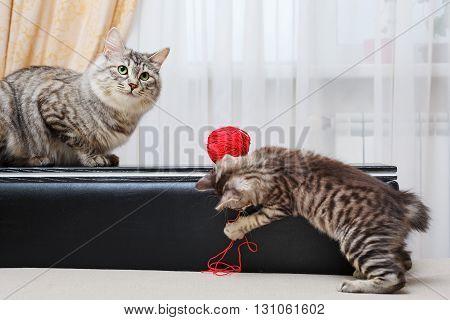 Kuril Bobtail cats. Mum cat and kitten. Ball of yarn. Thoroughbred cat. Cute and funny kitten. Pet. poster