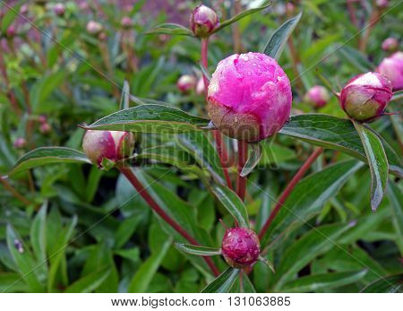 Close-up of pink peony flower bud with drops of dew in the garden during a rainy spring day. Macro, background.