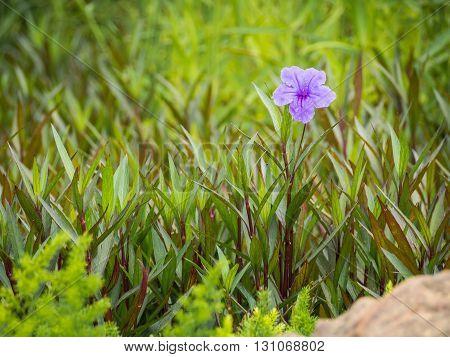 One purple flower (Waterkanon Flower or Cracker Plant Flower) surrounded by green leaf in garden feeling lonely